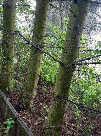 Drzewa świerkowe