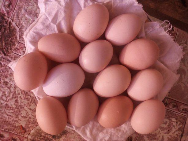 Домашнее яйцо куриное .