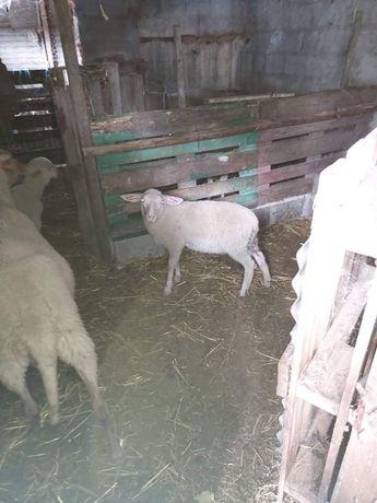 Borrego e carneiro