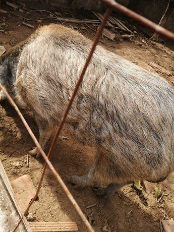 Vendo porco raça bizaro com javali