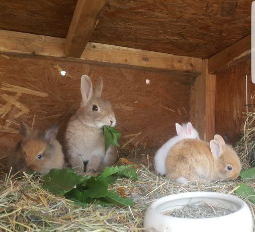 Dorosła samica królika miniaturki