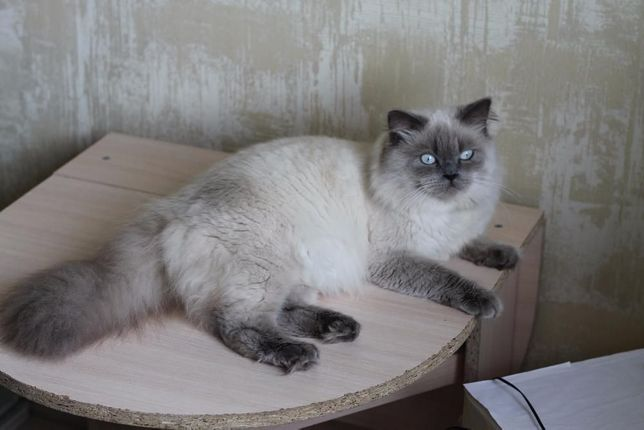 Шотландский прямоухий кот приглашает на вязку.Шотландец на вязка