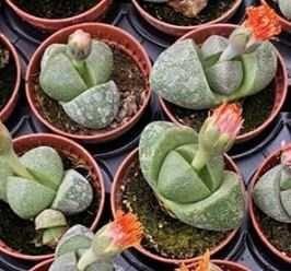 Planta Pedra Suculenta em Vaso
