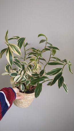 Costus arabicus variegata