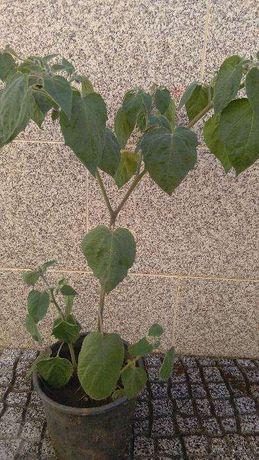 Planta fruto Physalis
