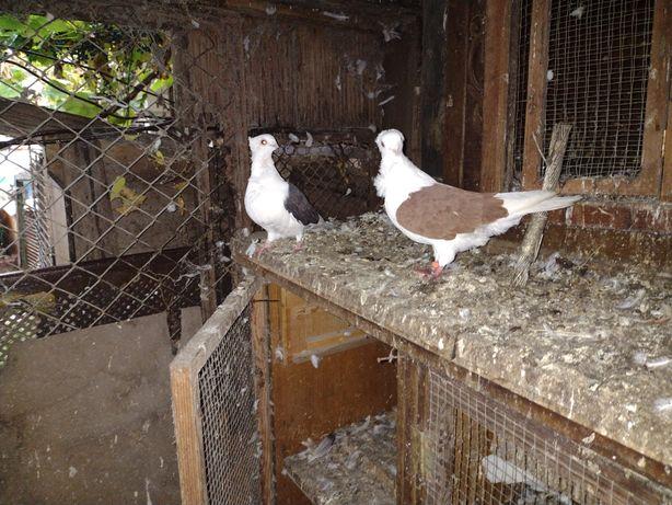 Gołębie ozdobne mewki para