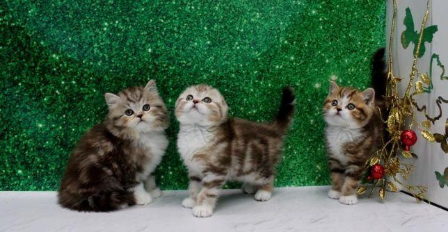Прелестные детки, шотландские котята