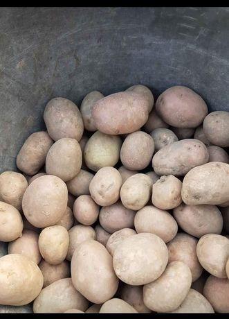 Ziemniaki sadzeniaki bellarosa I owacja