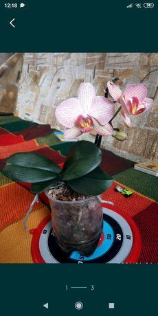 Подари новую жизнь орхидеи