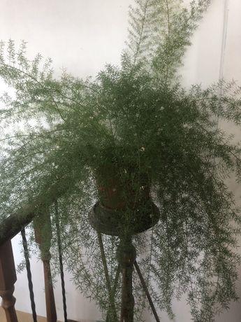 Аспарагус,папоротник,спаржа,растения для офиса