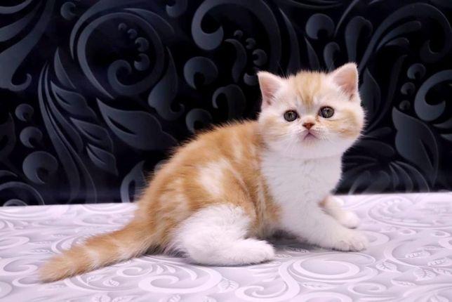 Суперский шотландский котик с замечательным характером
