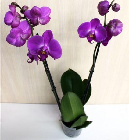 Лиловая орхидея отцветашка