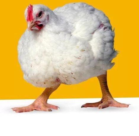 Цыплята Кобб 500 суточные, Венгрия !