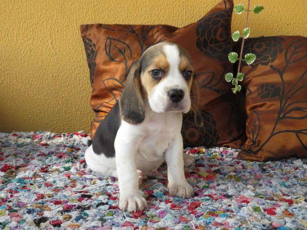 Beagle com pedigree (LOP)