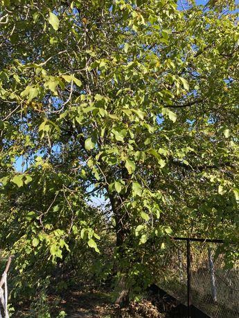 Дерево ореха / орех на дрова /на спил дерево