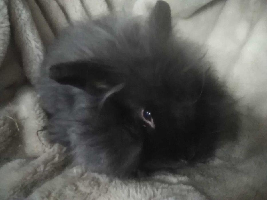 Кролик пуховый 8 месяцев Киев - изображение 1