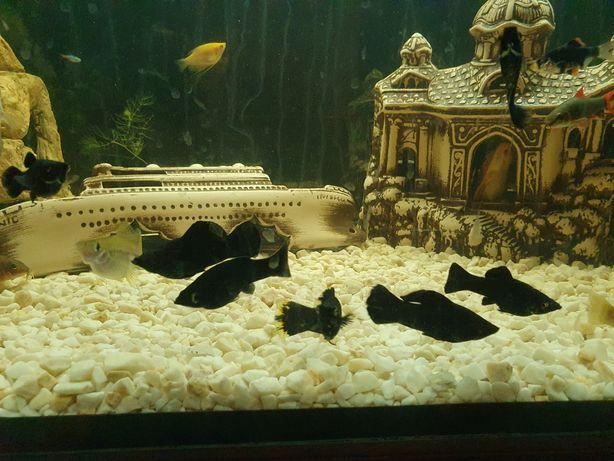 Molinezje Czarne