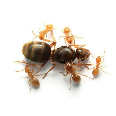 "Муравьи вида ""Lasius flavus -- Жёлтый муравей"" [U]"