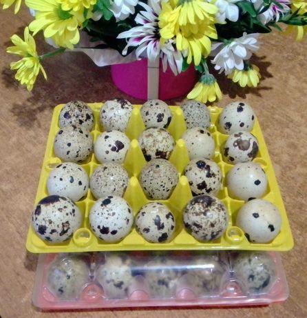 Яйца перепелинные 1.50 грн.