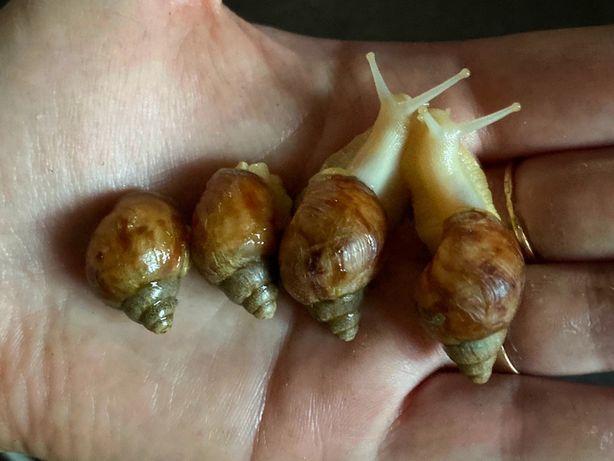 Улитки Ахатины, мох, кальцесмеси, зерносмеси! С Херсона