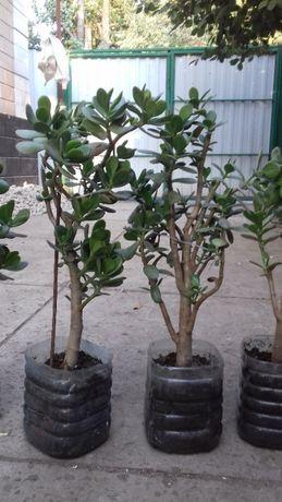 Денежное дерево 200 рублей