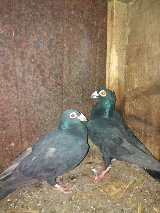 Продам голубів драконів. Вірлів - зображення 1