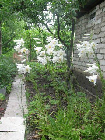 Продам лилии белые