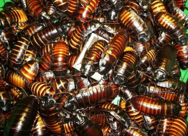Мадагаскарский шипящий таракан.