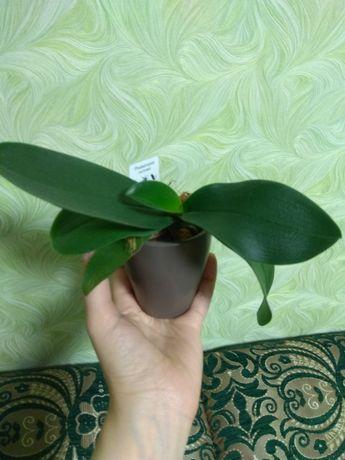 Орхидея мини фаленопсис в керамическом кашпо.