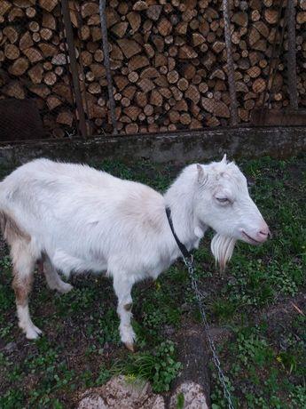 Продам козу молочну