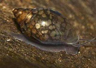 Ślimak rozdętka