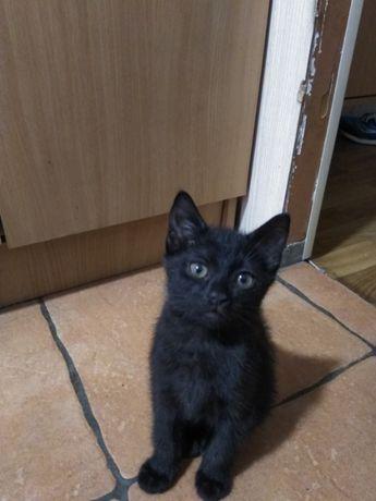 Черный котенок, домашний в добрые руки