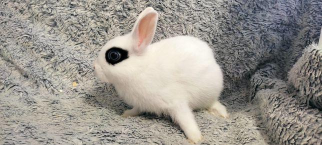 Króliczek młody królik