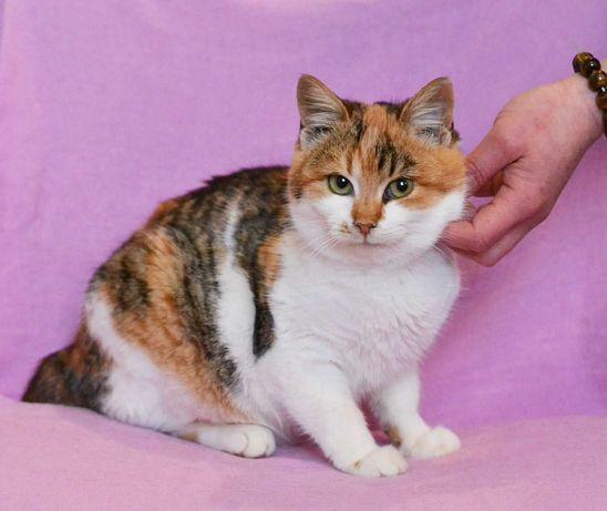 Трехцветная чудо-кошечка Ваниль, в самые добрые руки, кошка 7 месяцев