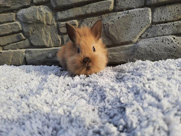 Karzełek Teddy,królik karzełek teddy