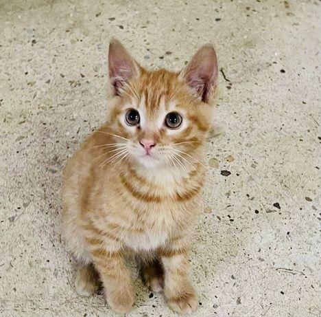 Рыжий котенок даром