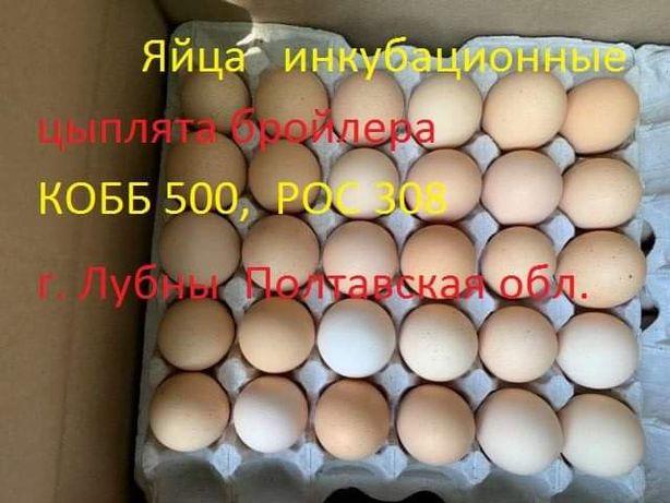 Яйца бройлера и куриные инкубационние