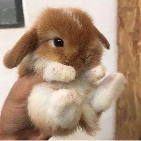 Кролики вислоухие баранчики от 1 мес