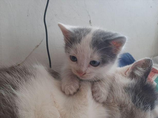 Котенок голубоглазый