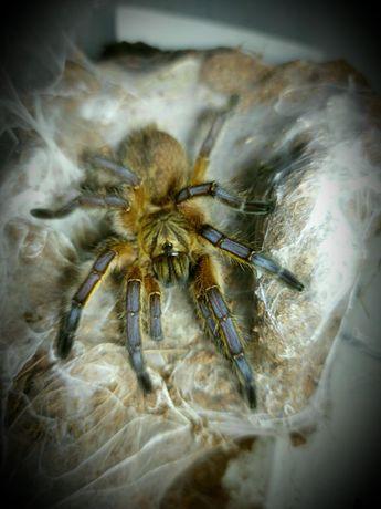 Ptasznik - Harpactira pulchripes L3/L4