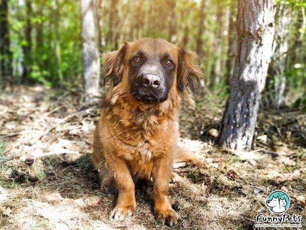Bardzo stróżujący, piękny, rudy pies Ares do adopcji!