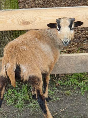 Dwie owce kamerunskie