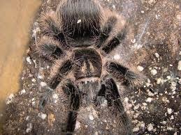 паук птицеед для новичка Brachypelma albopilosum павук