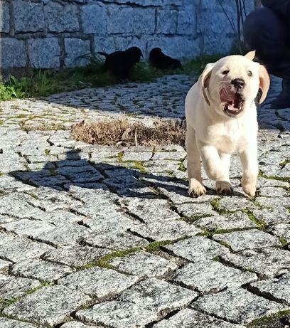 Labradora pura com LOP