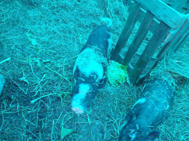 Vendo casal de porcos vietnamitas  fêmea  prenha