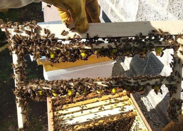 Пчеломатки Buckfast «ИО» Плідні F. 1 Продам 2021 г