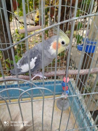 Продам попугая(корелла)