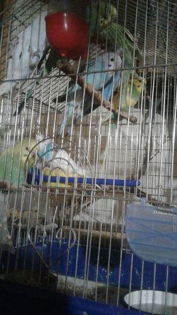 продам волнистых попугаев  малышей