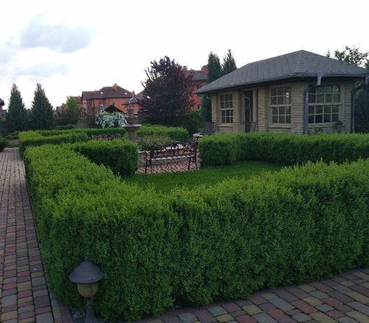 Продам Самшит вечнозеленый высота 90-100 см