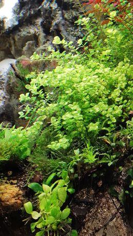 Micranthemum umbrosum 10 sztuk